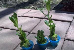 lettuceRegrowAfter